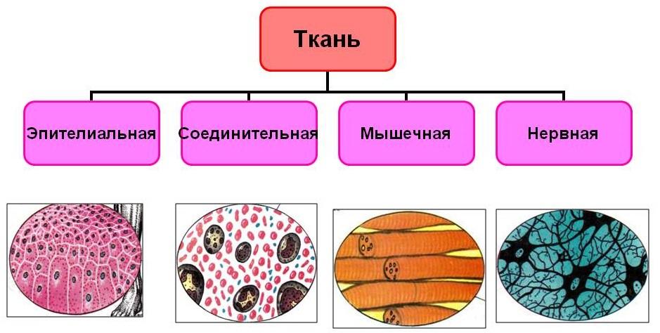 Ткани по анатомии картинки