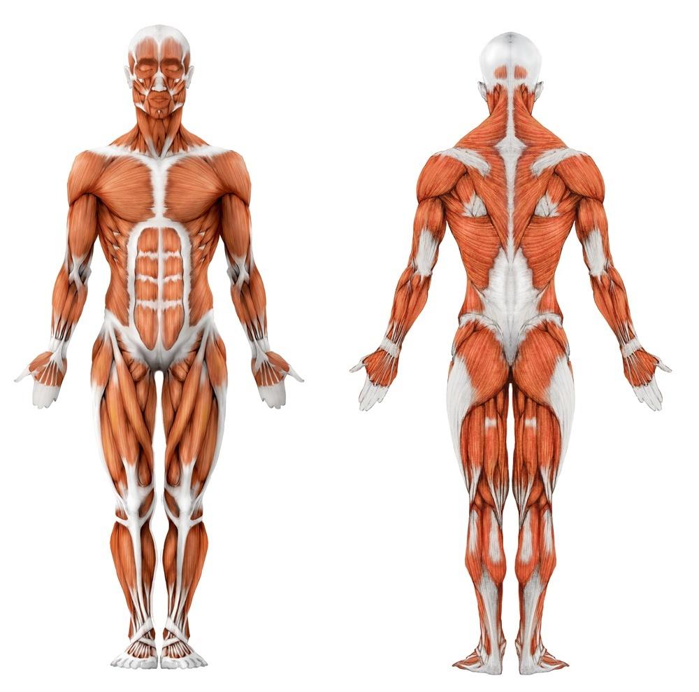 Анатомия в картинках мышцы тела