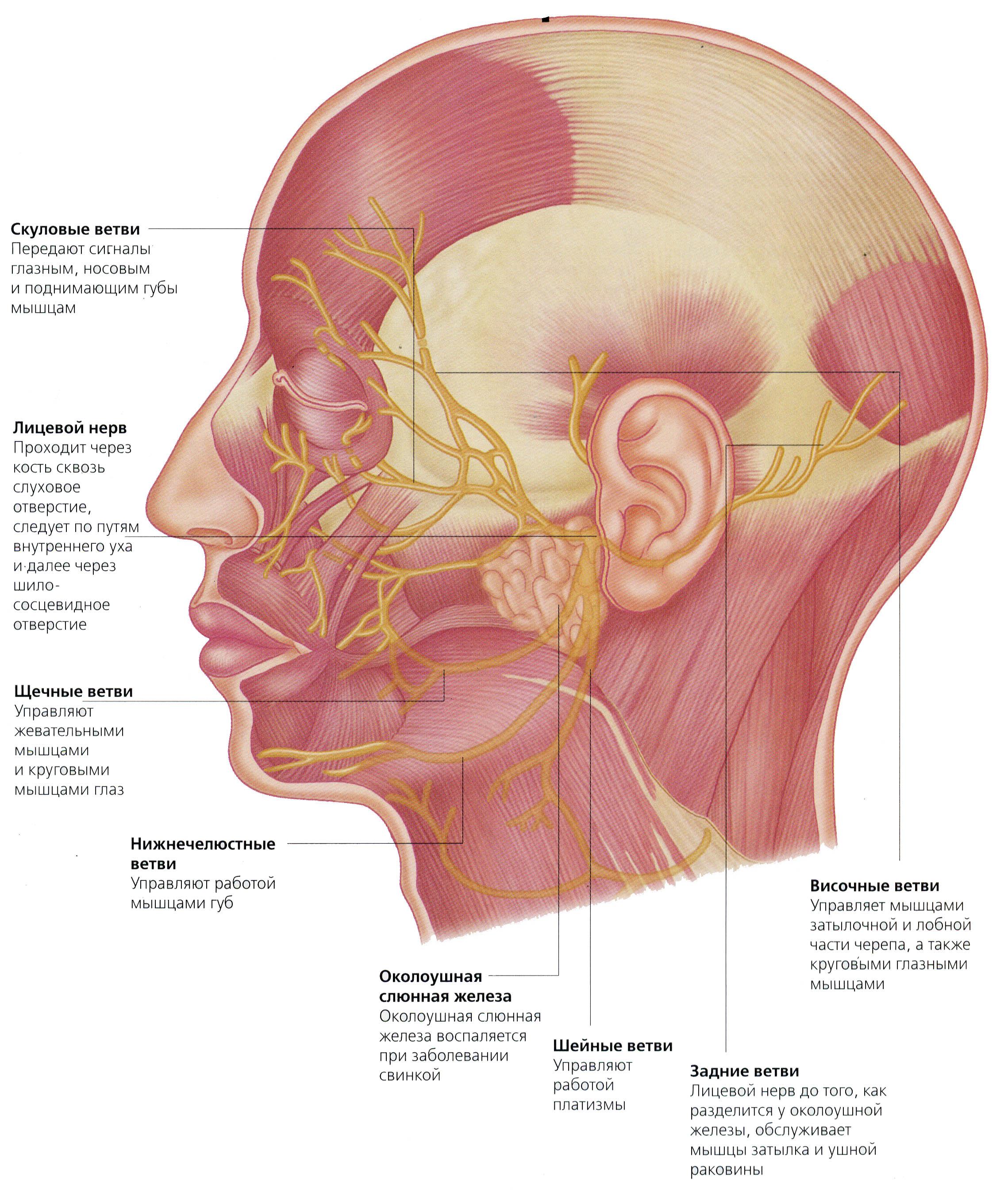 Как и чем лечить лицевой нерв в домашних условиях 697
