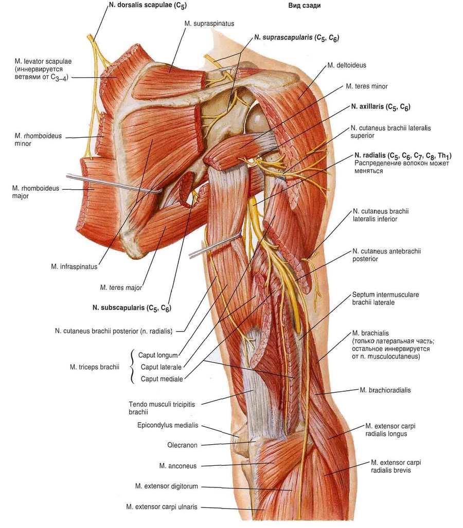Musculocutaneous nerve netter