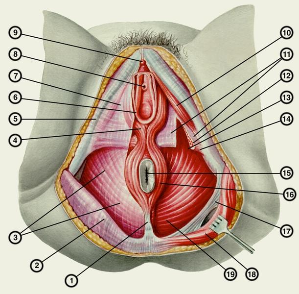 Если уретра расположена рядом с влагалищем