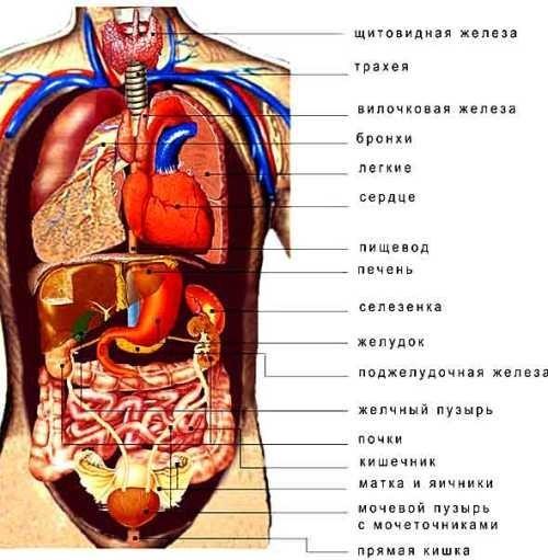 Внутренние женские органы с надписями спереди